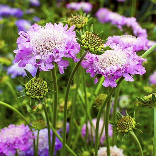 Hardy Scabious Pink Mist