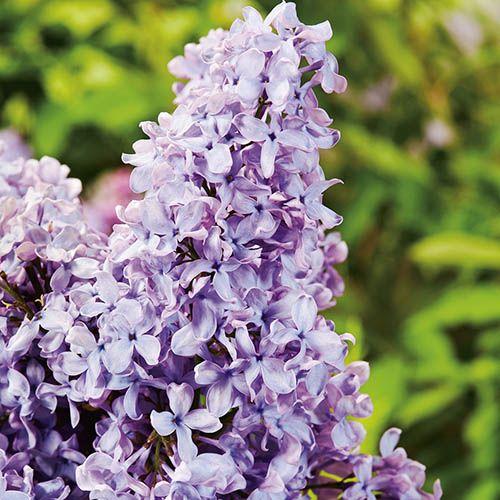 French Lilac - Syringa Lavender Blue