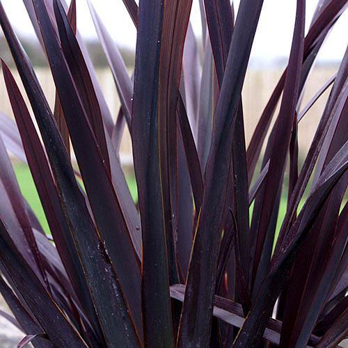 Phormium Black Adder