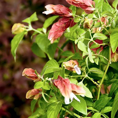 Beloperone guttata Shrimp Plant