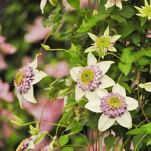 Clematis Viennetta Double-Flowered Climber