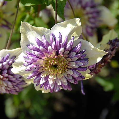Clematis Viennetta Double-Flowered Climber