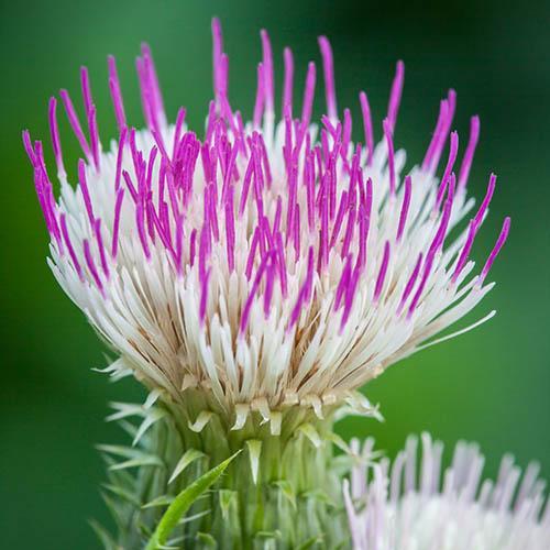 Cirsium herophyllum Pink Blush 3L