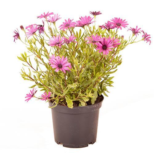 Osteospermum Tresco Purple 3L African Daisy