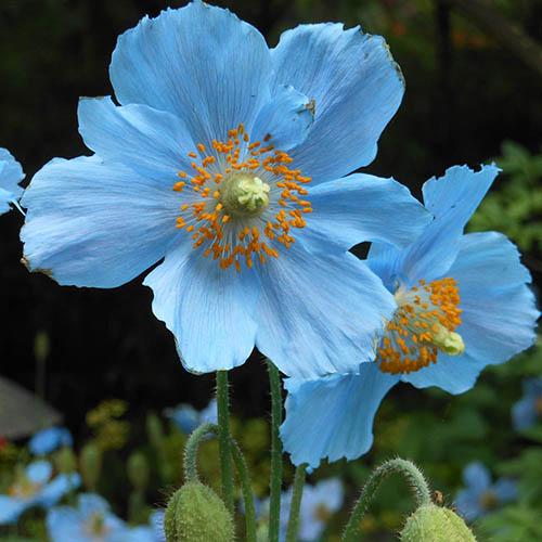 Himalayan Blue Poppy