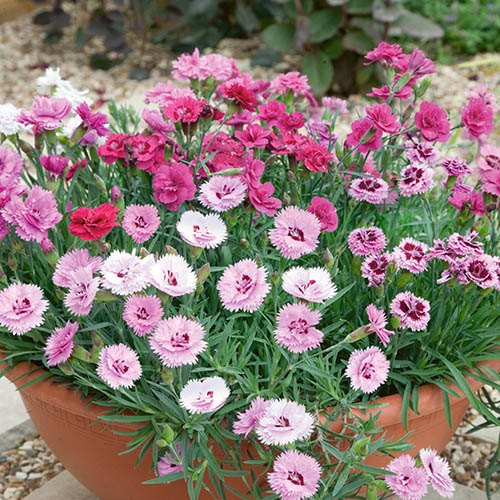 Mixed Garden Pinks Collection 6 x 9cm Pots
