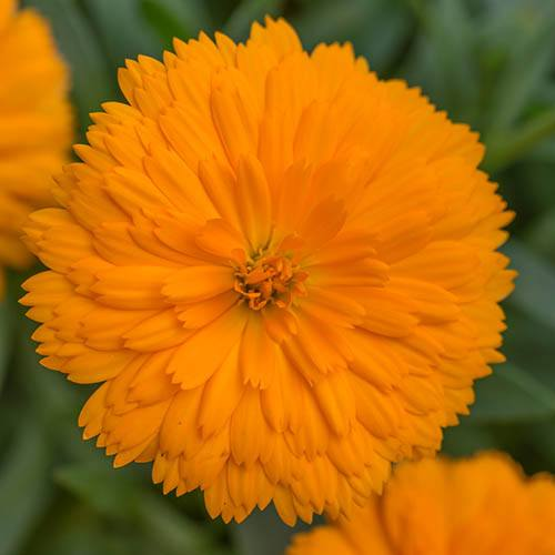 Calendula Power Daisy