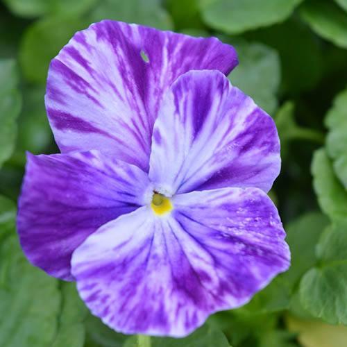 Victorian Violets 4 x 9cm