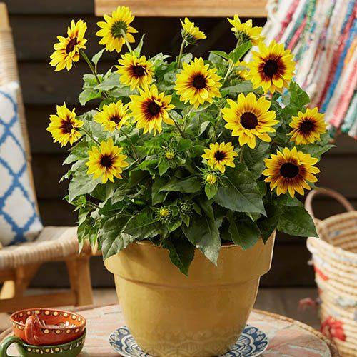 Patio Sunflower Sunbelievable (TM) Brown Eyed Girl