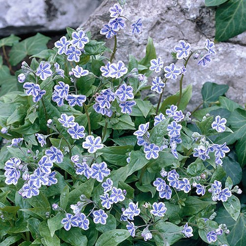 Omphalodes cappadocica. Starry Eyes