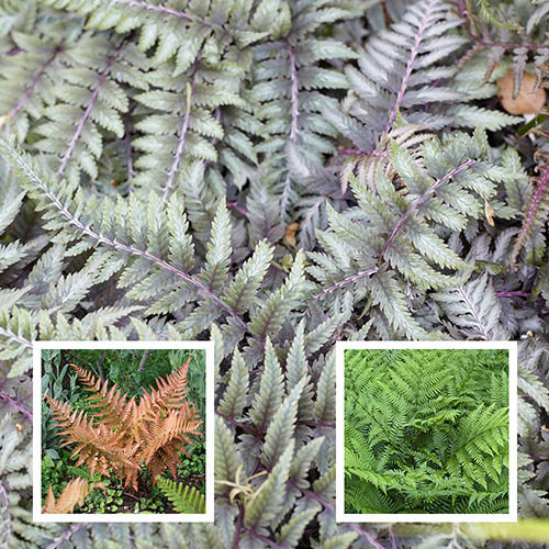 Colourful Hardy Fern Collection