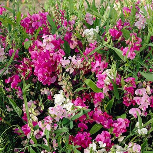 Perennial Lathyrus Sweet Pea Collection