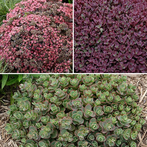 Sedum Sunsparkler (R) Collection x 3