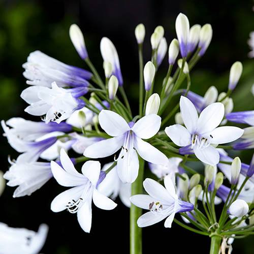 Agapanthus africanus Twister, African Lily