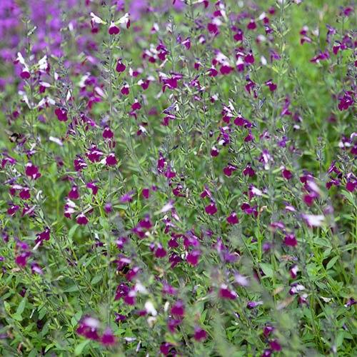 Salvia Amethyst Lips