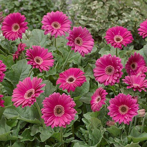 Hardy Gerbera Garvinea Pink 3L