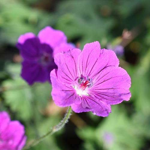 Hardy Geranium Tiny Monster Cranesbill