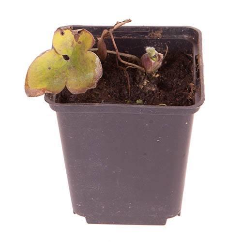 Hepatica nobilis Anemone