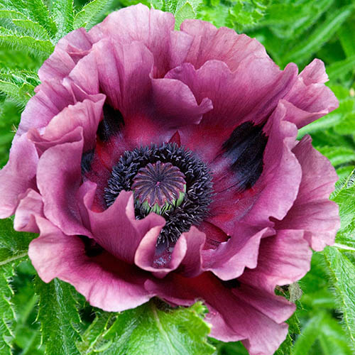 Oriental Poppy Pattys Plum