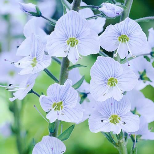 Gentian Speedwell Veronica gentianoides