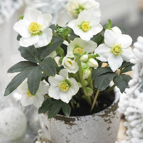 Helleborus niger (Christmas Rose) in 15cm pot