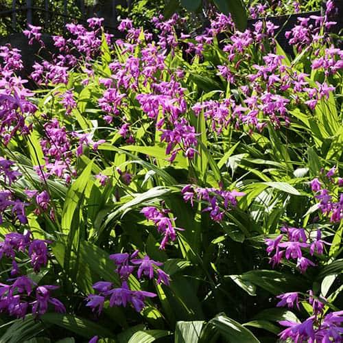 Hardy Orchid Bletilla striata Blue Dragon