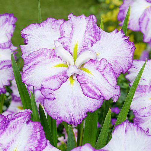 Dinner Plate Iris ensata Tiramisu