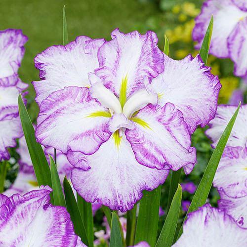 Dinner Plate Iris ensata Collection