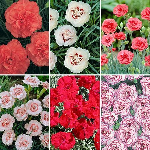Dianthus Hardy Garden Pinks