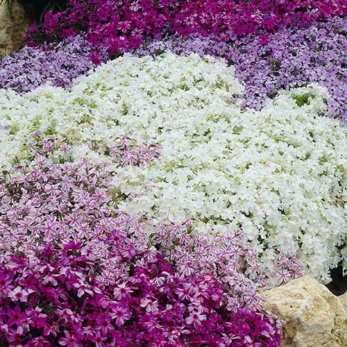 Creeping Moss Phlox subulata Collection
