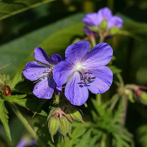 Geranium Johnsons Blue 9cm