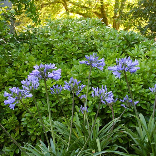 Agapanthus Pitchoune collection