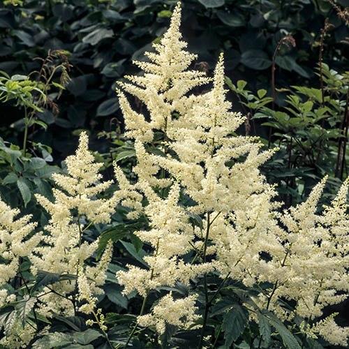 Astilbe japonica Washington