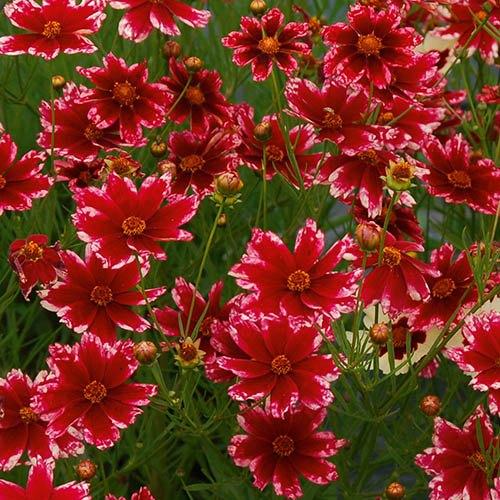 Coreopsis verticillata Sunstar Rose
