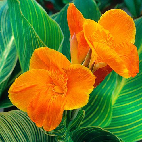 Canna Tropicanna Gold