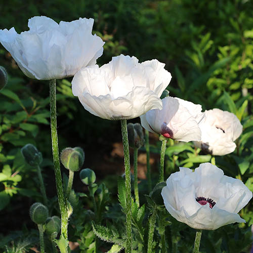 Oriental Poppy Checkers