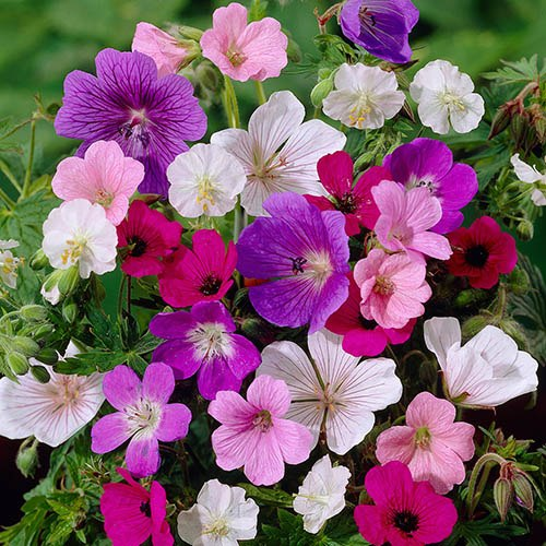 Hardy Geraniums mix - bare roots x 10
