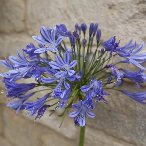 Agapanthus africanus Blue African Lily