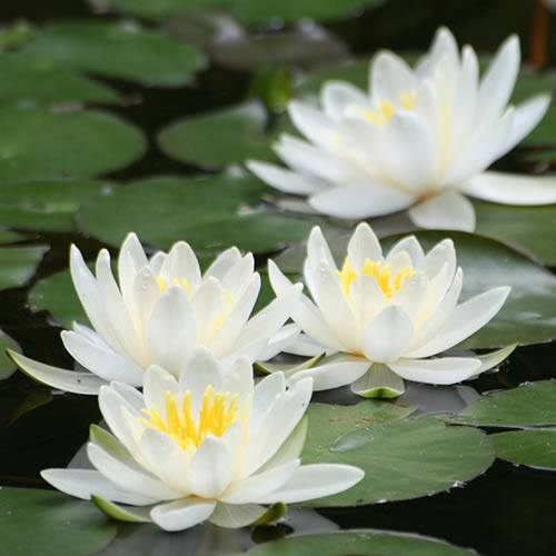 Water Lily Planting Kit - White