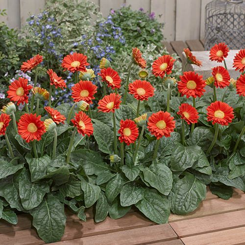Hardy Gerbera Garvinea Sweet collection