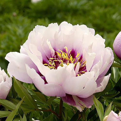 Peony Itoh Cora Louise