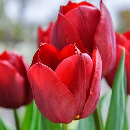 Tulip Tulipa Triumph Red