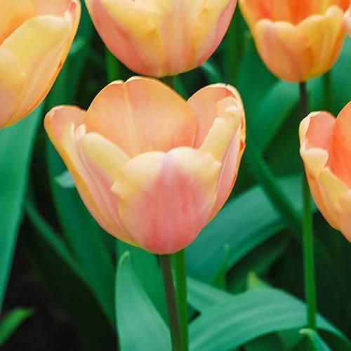 Tulip Apricot Fox