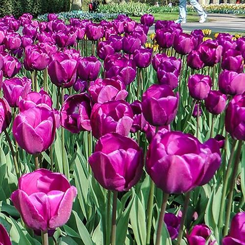 Tulip Triumph Purple