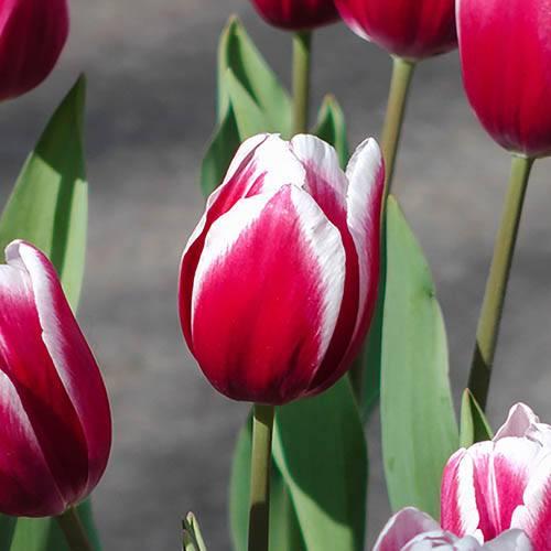 Tulip Triumph Red & White Bicolour