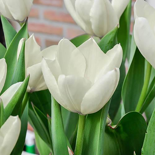 Tulip Triumph White
