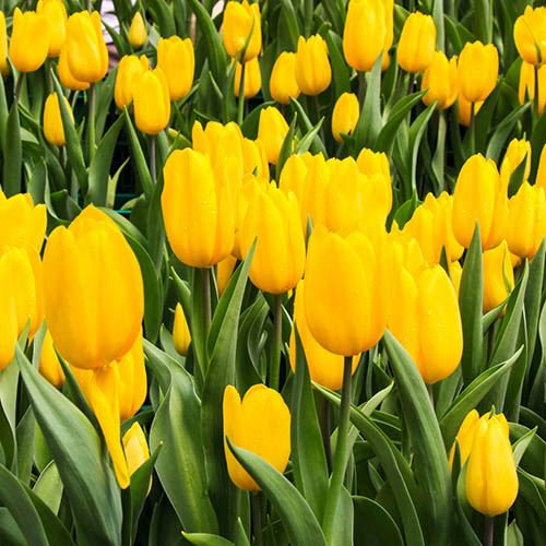 Tulip Tulipa Triumph Yellow