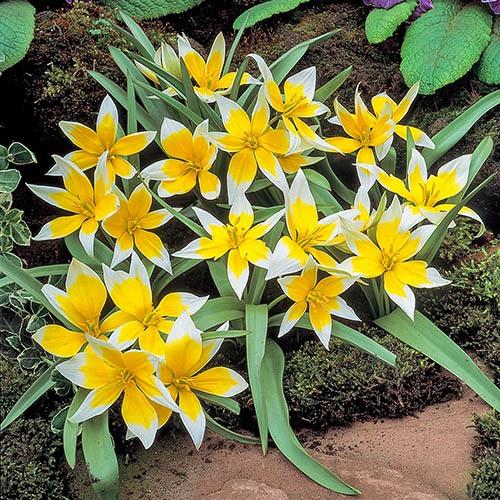 Tulip Tulipa Tarda