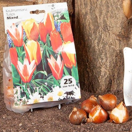 Tulip Kaufmanniana Mixed