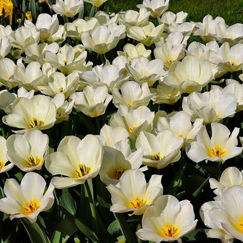 Tulip Tulipa fosteriana Concerto